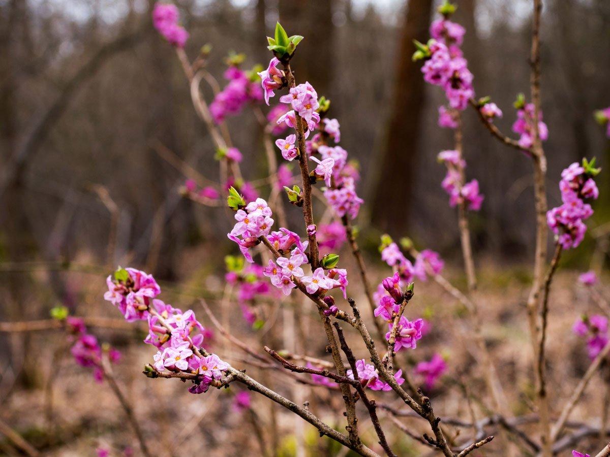 První jarní květiny v zahradě: lýkovec jedovatý