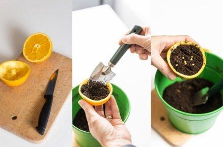 Kam vysít semínka: předpěstování sazenic v kůre ze citrusů