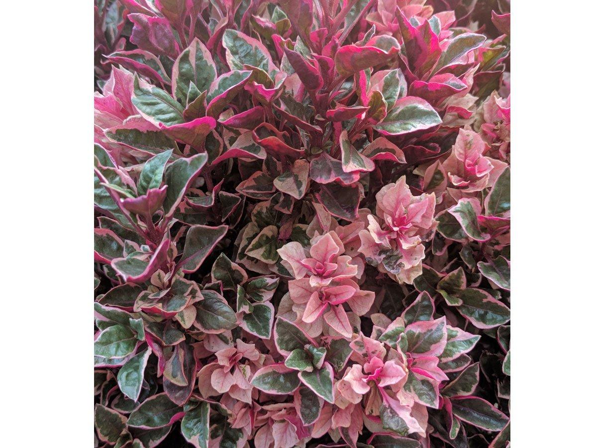 """Jak pěstovat brslen: Euonymus fortunei """"Emerald Gaiety"""""""