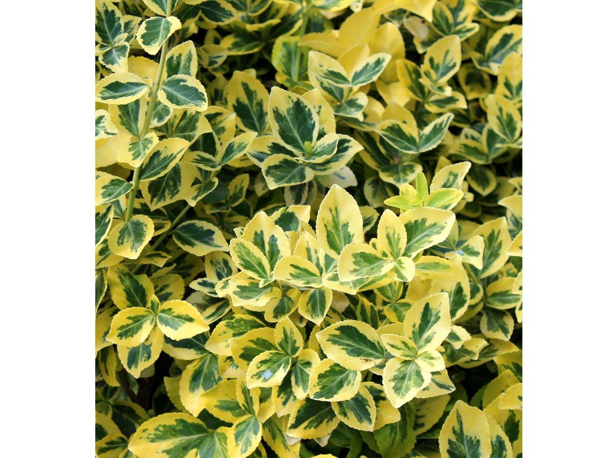 """Jak pěstovat brslen: Euonymus fortunei """"Emerald gold"""""""