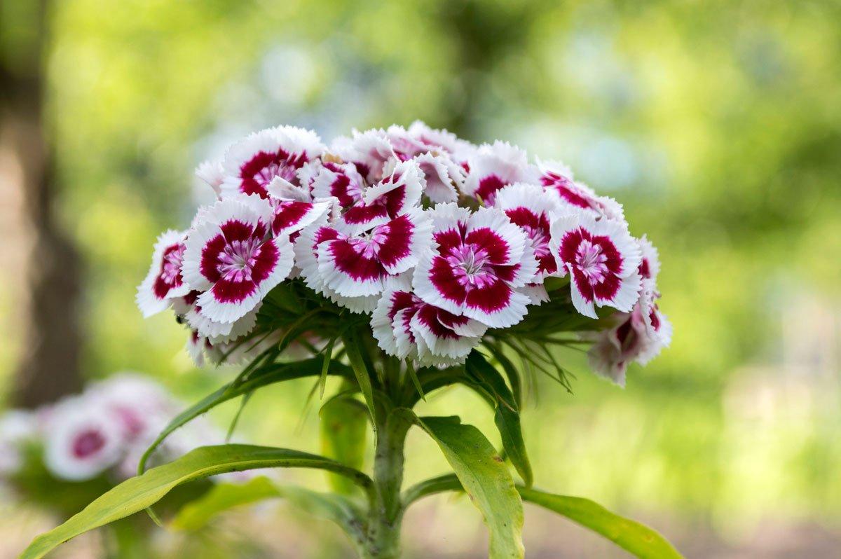 Kdy vysévat květiny: hvozdík.