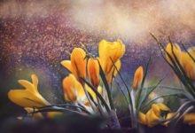První jarní květiny v zahradě: žlutý krokus