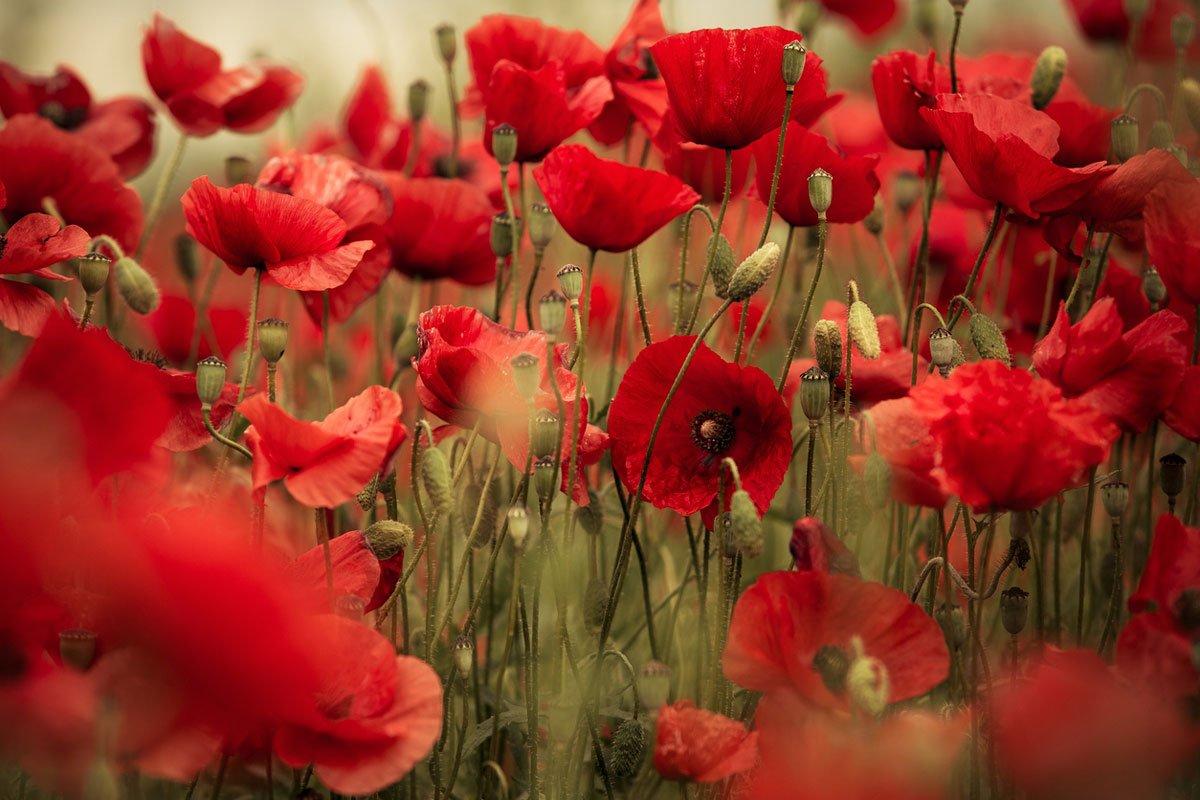 Kdy vysévat květiny: mák vlčí.