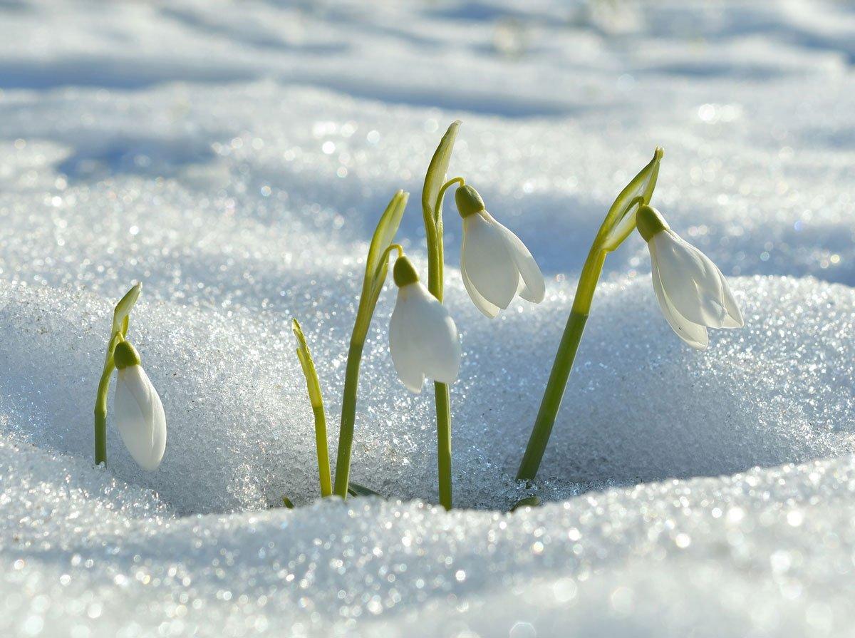 První jarní květiny v zahradě: sněženka