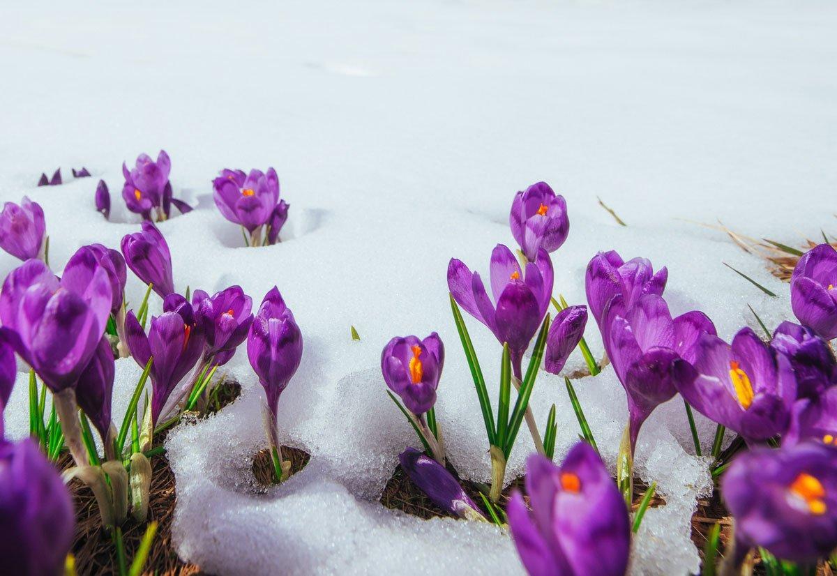 První jarní květiny v zahradě: fialový krokus