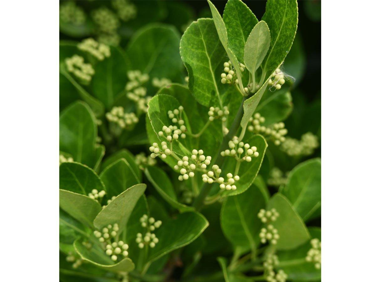 Jak pěstovat brslen: euonymus japonicus