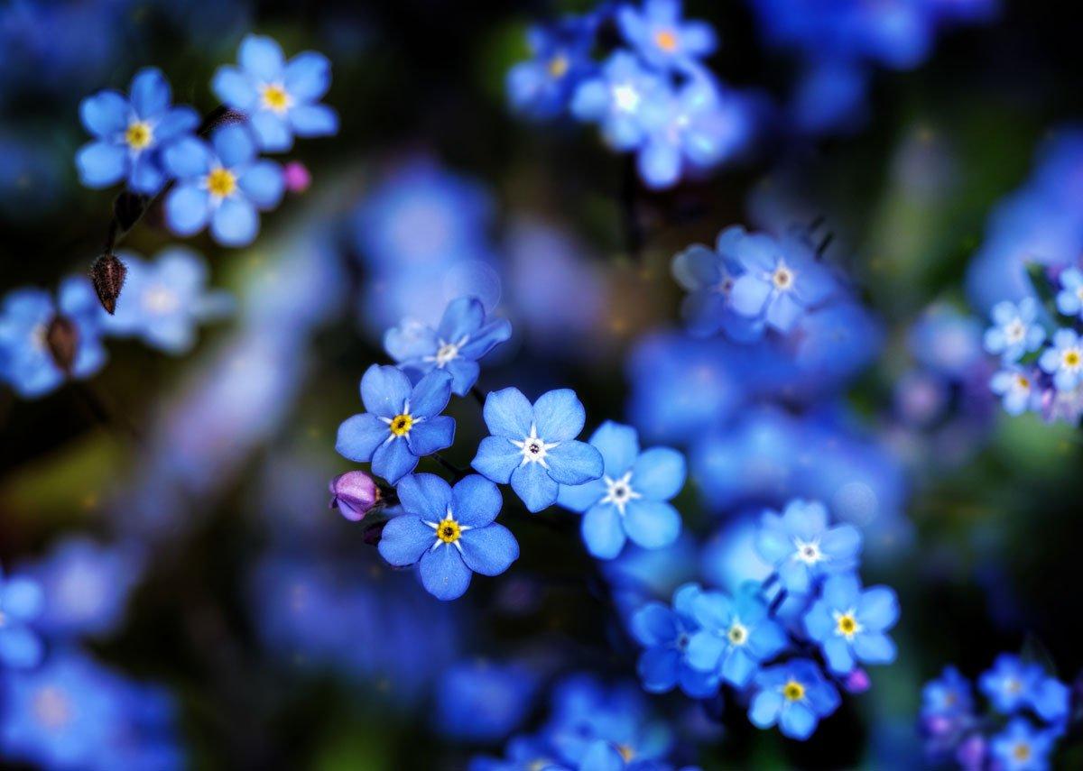 Kdy vysévat květiny: pomněnka.