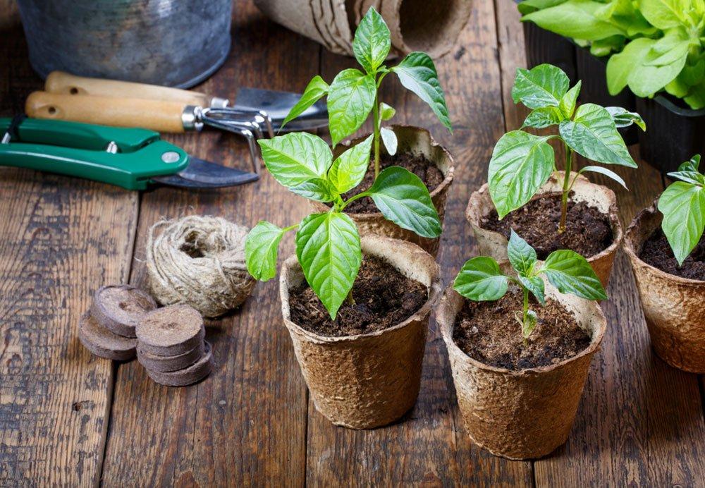 Zahrada v březnu podle lunárního kalendáře: sazenice papriky.