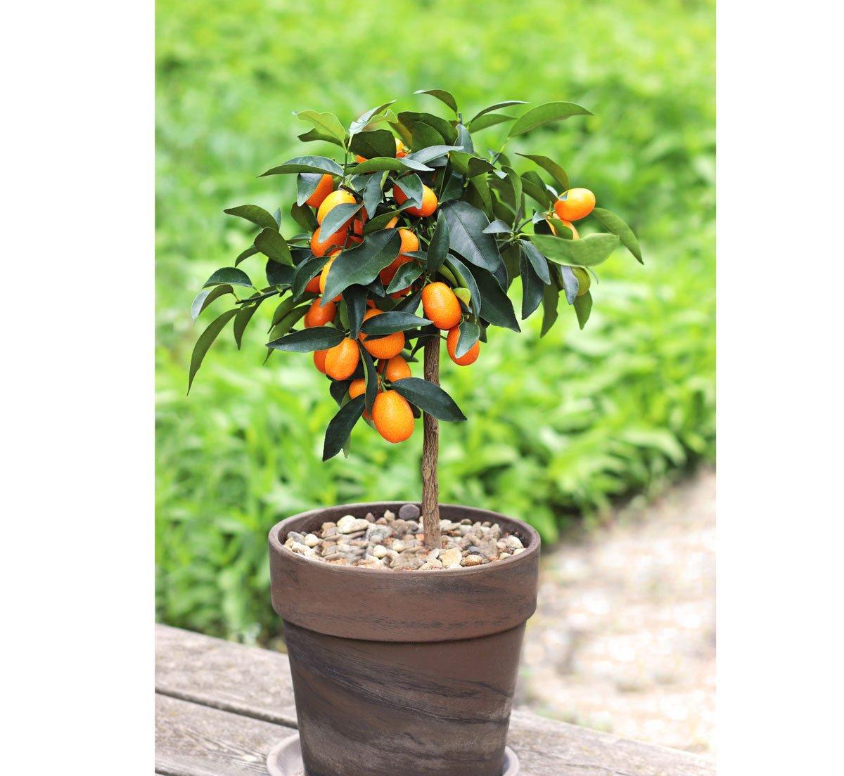 Jak pěstovat kumkvat: strom kumkvatu s plody