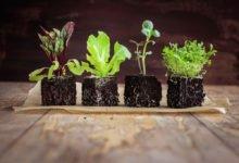 Výsev teplomilné zeleniny: mladé rostliny zeleniny