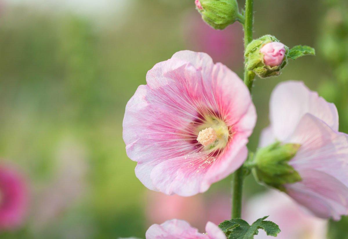 Kdy vysévat květiny: topolovka.