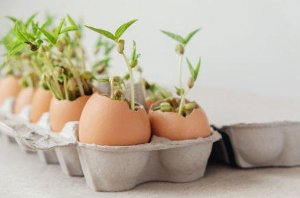 Kam vysít semínka: předpěstování sazenic ve vaječné skořápce