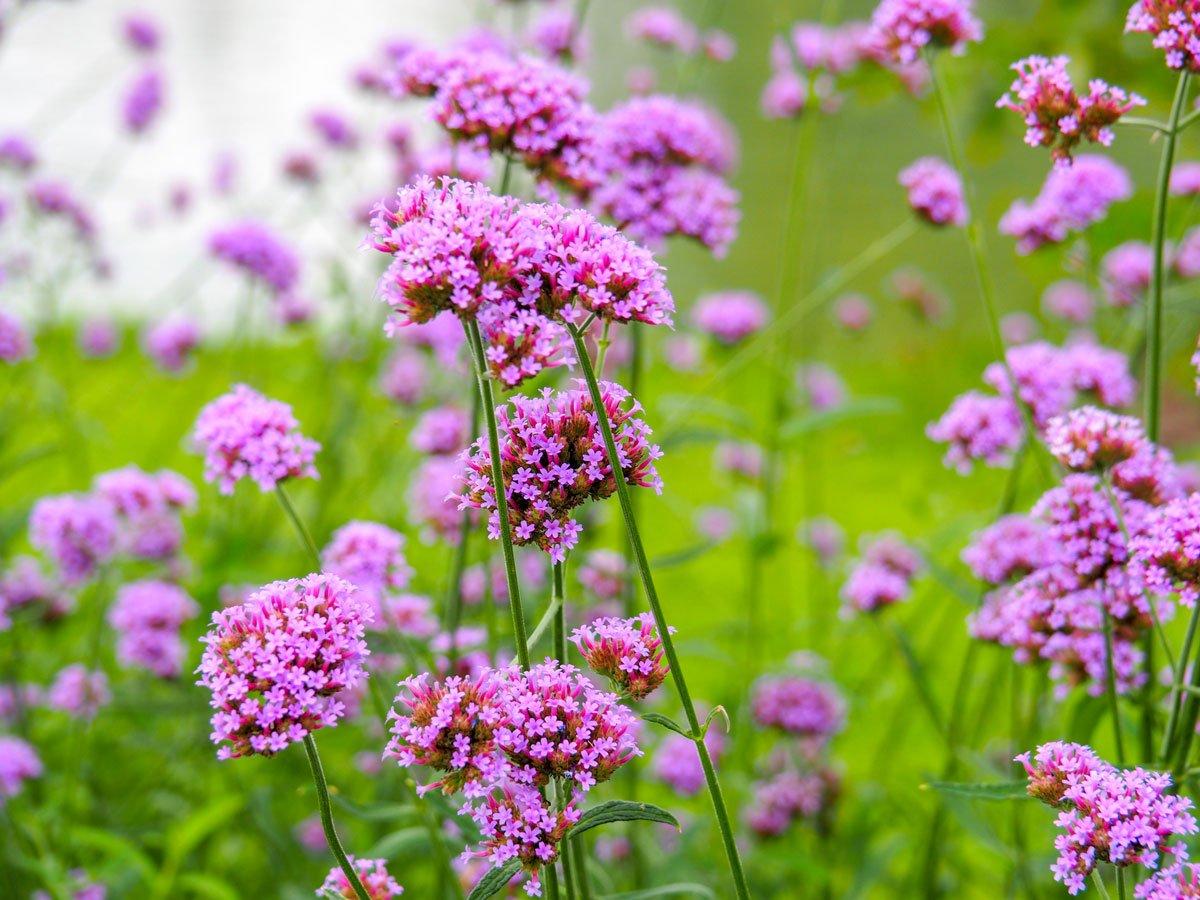 Kdy vysévat květiny: verbena.