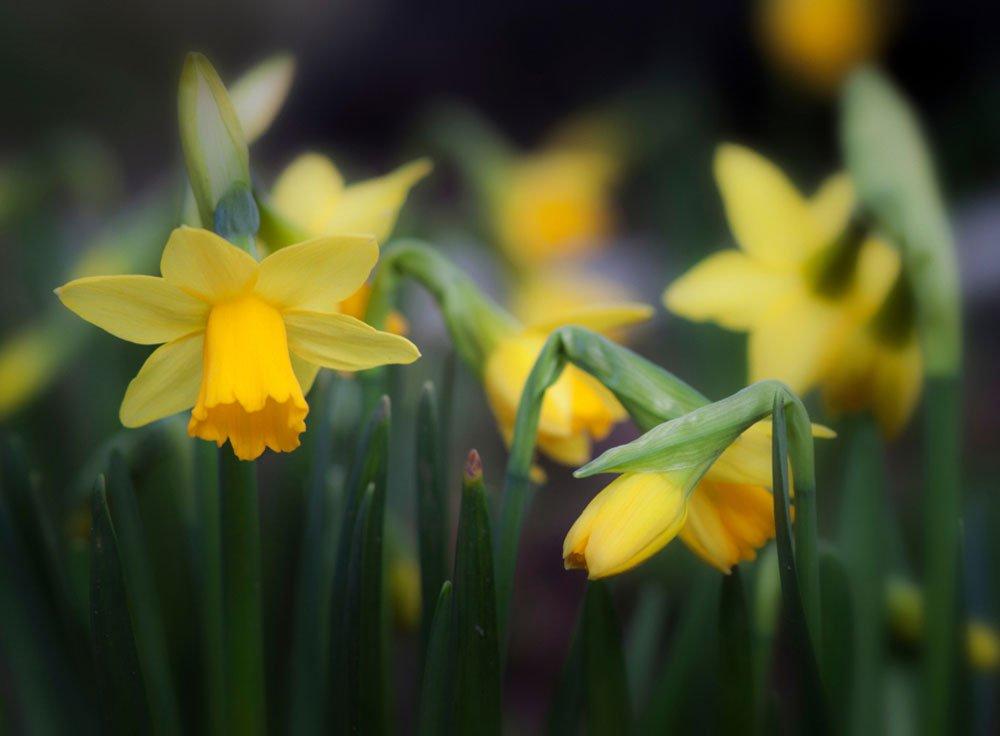 Symbol jara, jak pěstovat narcisy