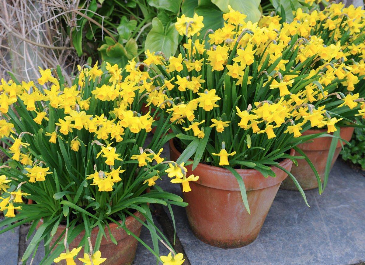 Odrůda narcisu Narcissus 'Tete aTete'