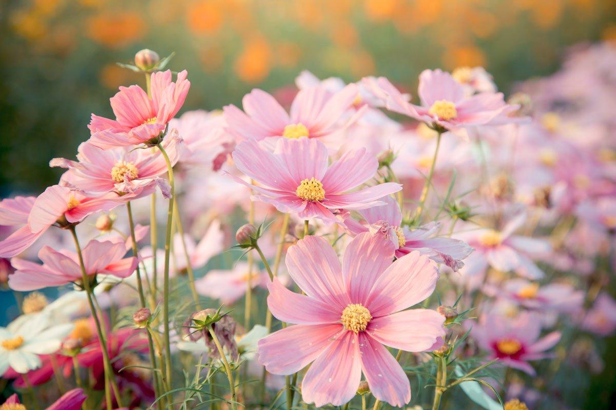 Jaké květiny se hodí na řez do vázy: krásenka.
