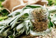 Pěstování šalvěje a její využití: sušená šalvěj