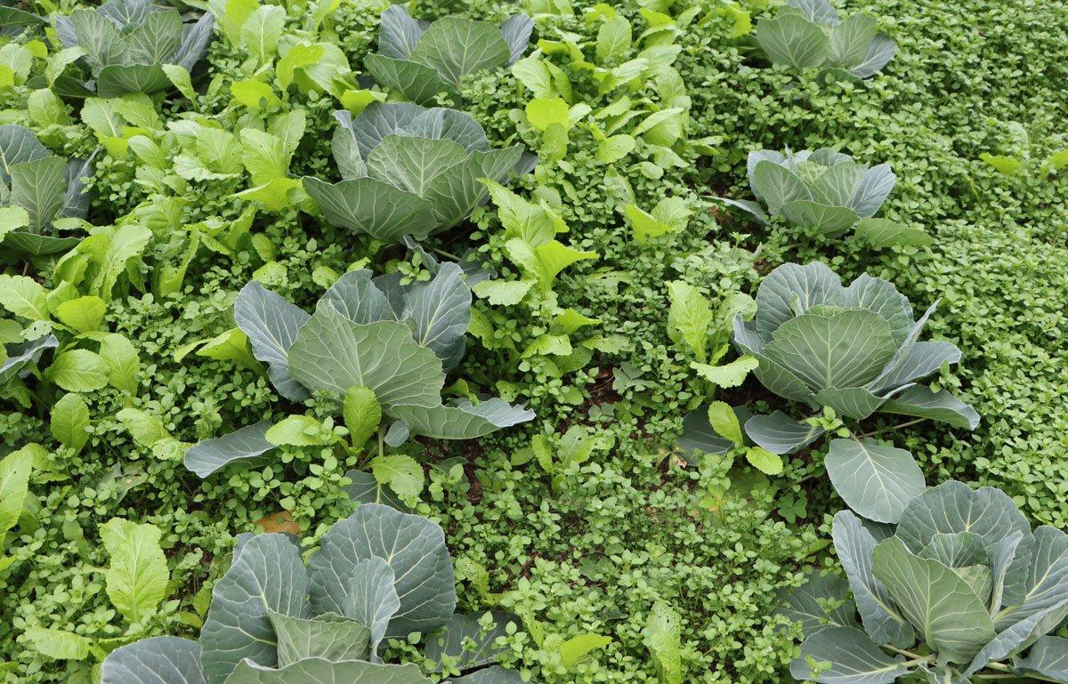 Smíšená výsadba zeleniny