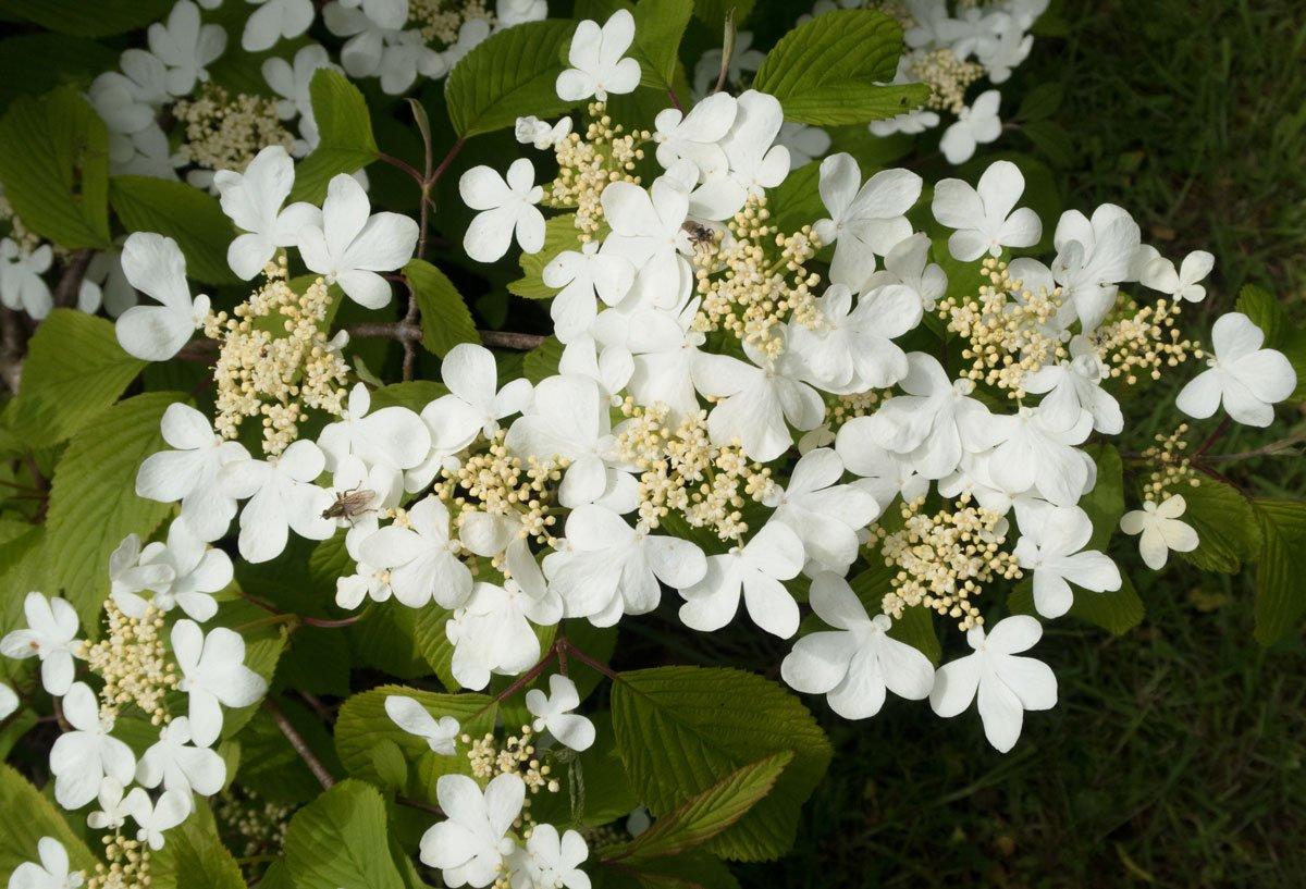 Kalina Viburnum plicatum Mariesii.