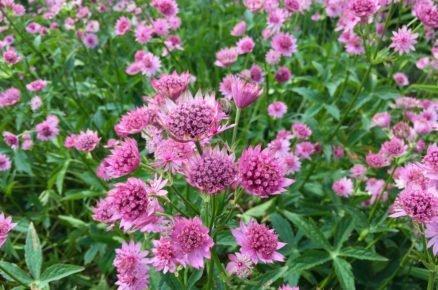 Rostliny vhodné do světlého stínu: Jarmanky