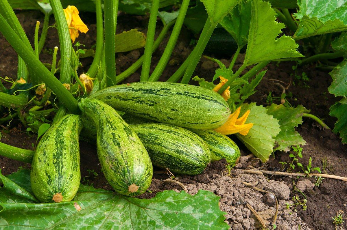Jak pěstovat cuketu: Kvetoucí cuketa