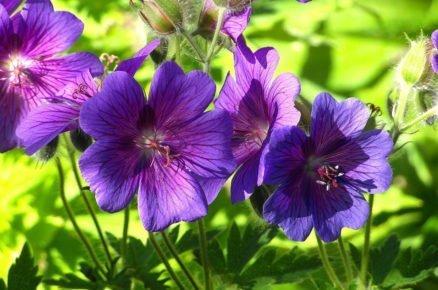 Rostliny do hlubokého stínu: Kakost