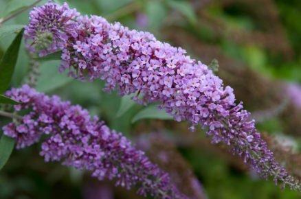 Rostliny vhodné na plné slunce: Komule