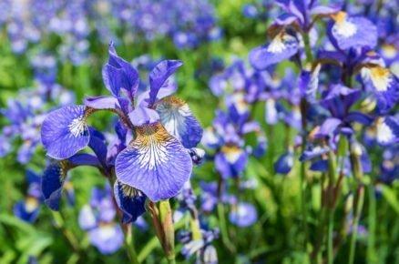 Rostliny vhodné do vlhké a podmáčené půdy: Sibířské kosatce