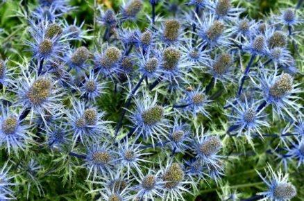 Rostliny vhodné na slunné a větrné stanoviště: Máčka