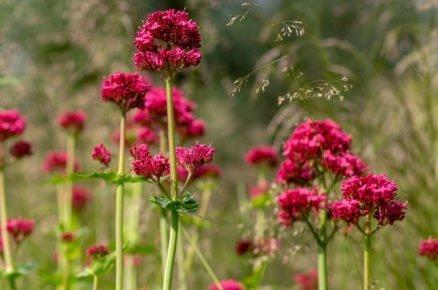 Rostliny vhodné na slunné a větrné stanoviště: Mavuň