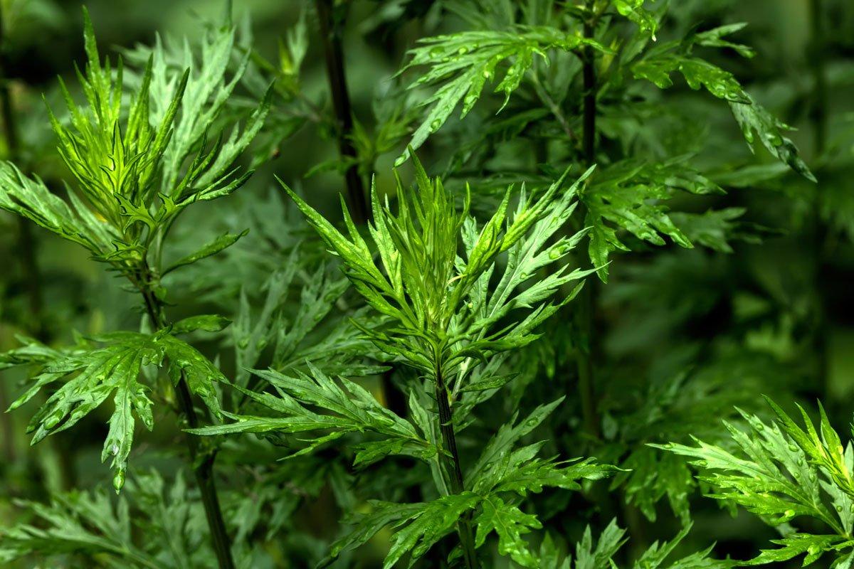 Rostliny vhodné do suché lehké půdy: Pelyněk