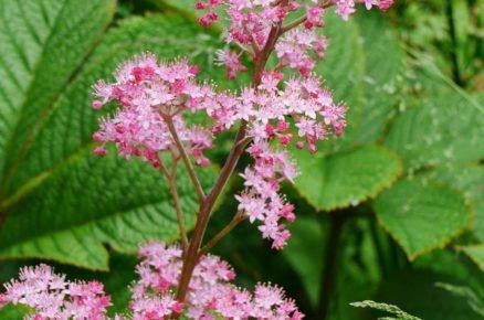 Rostliny vhodné do vlhké a podmáčené půdy: Rodgerzie
