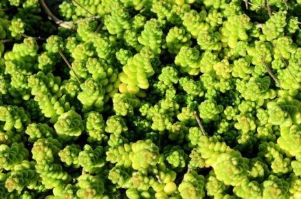 Rostliny vhodné do suché lehké půdy: Rozchodník