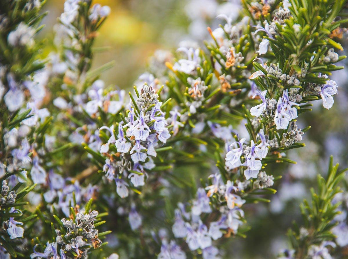 Fialové květy rozmarýnu