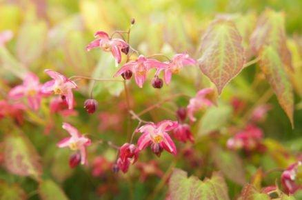 Rostliny do hlubokého stínu: Škornice
