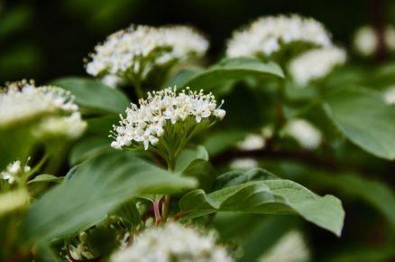 Rostliny vhodné do světlého stínu: Svída