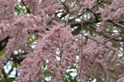 Rostliny vhodné na slunné a větrné stanoviště: Tamaryšek