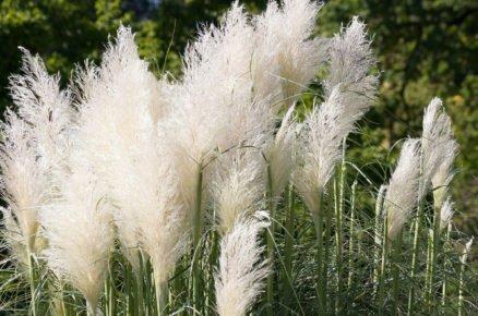 Rostliny vhodné do světlého stínu: Trávy