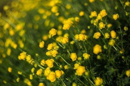 Rostliny vhodné do vlhké a podmáčené půdy: Upolín