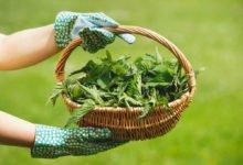Jak vyrobit domácí hnojivo: košík s kopřivou