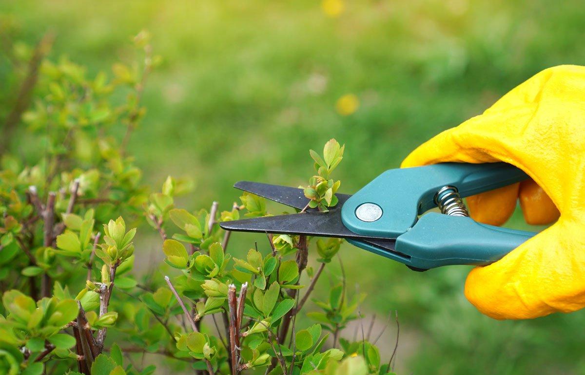 Letní řez mladých výhonků rostlin