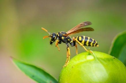 Boj proti škůdcům pomocí hmyzu: vosa