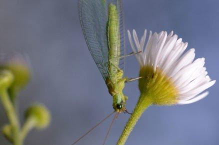 Boj proti škůdcům pomocí hmyzu: zlatoočko