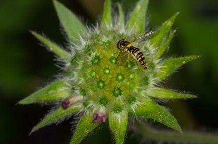 Boj proti škůdcům pomocí hmyzu: pestřenka