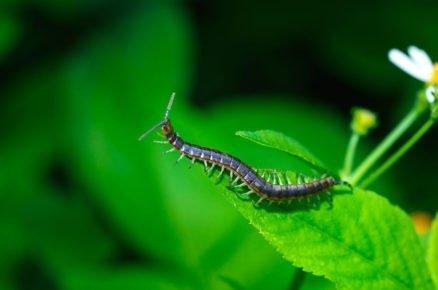 Boj proti škůdcům pomocí hmyzu: stonožka
