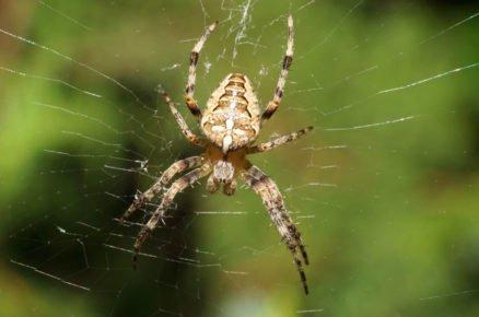 Boj proti škůdcům pomocí hmyzu: křižák