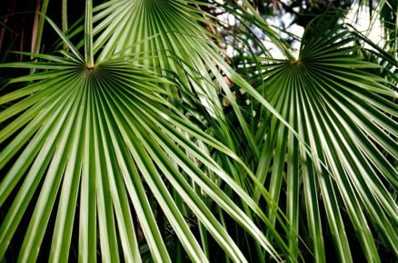Rostliny vhodné k bazénu: Palmička