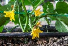 zavlažovací systém pro zeleninu v podobě kapkovací hadice