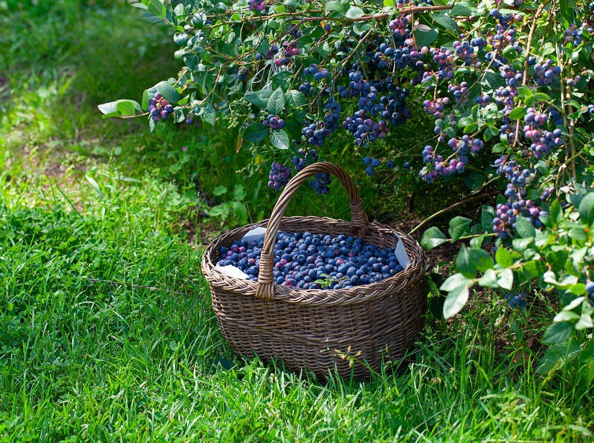 Kdy a jak sbírat borůvky