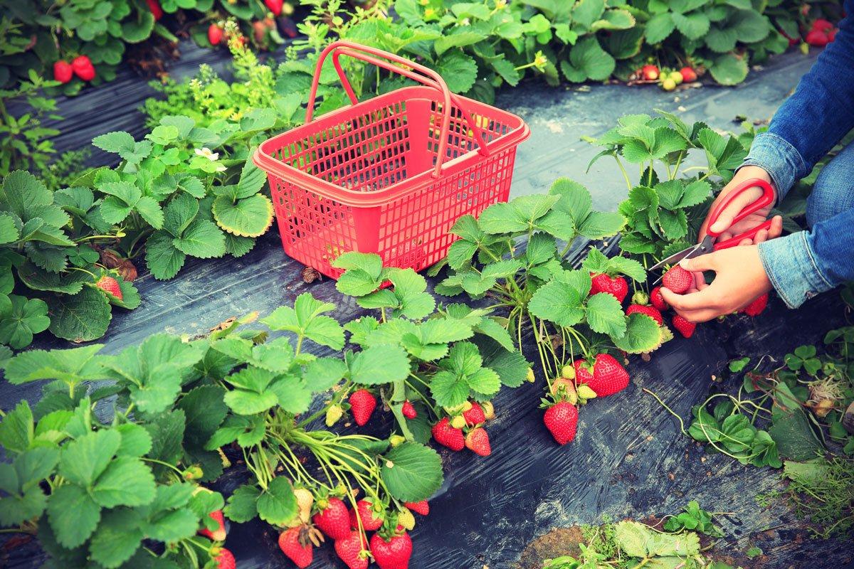 Jak se postarat o jahodiště po sklizni: pěstování jahod na černé folii